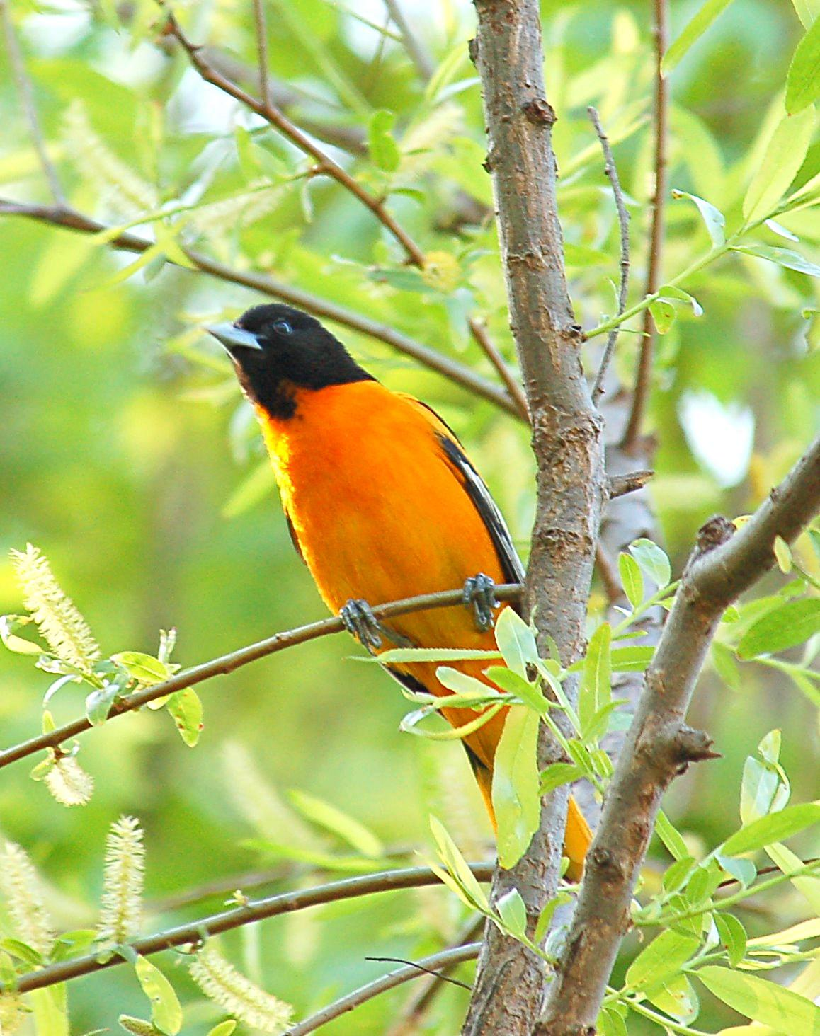 Baltimore Oriole on the tree