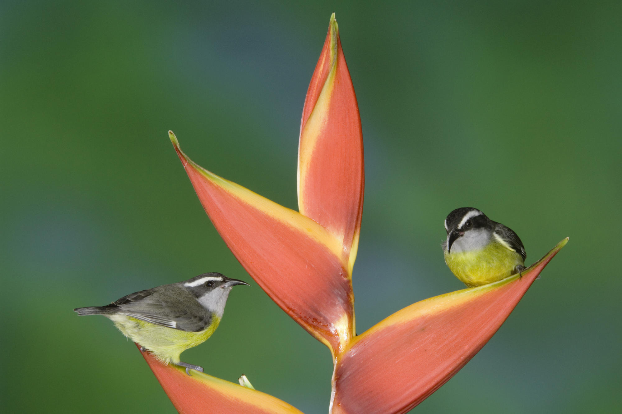 Bananaquits on the flower