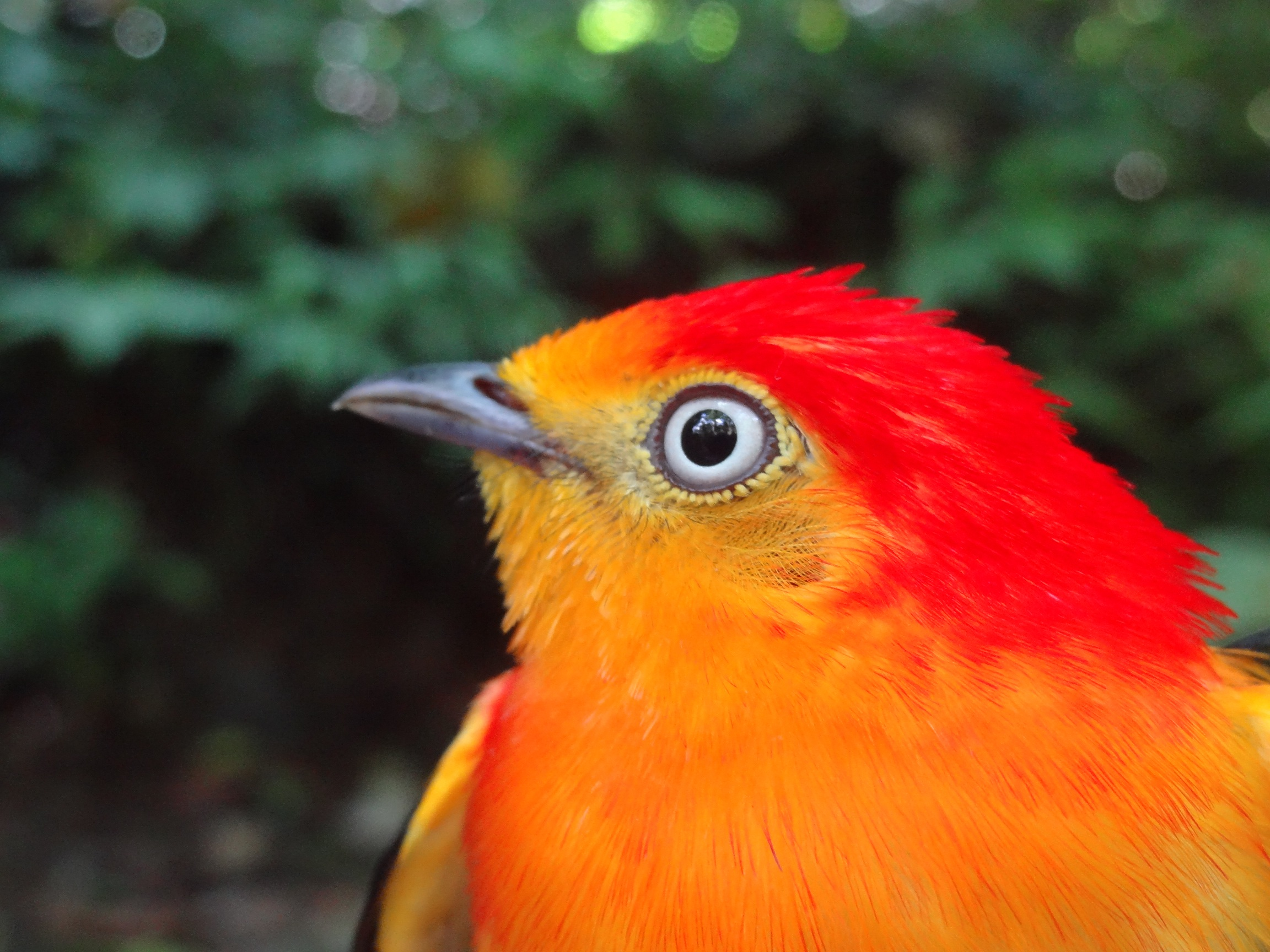 Band-tailed Manakin face
