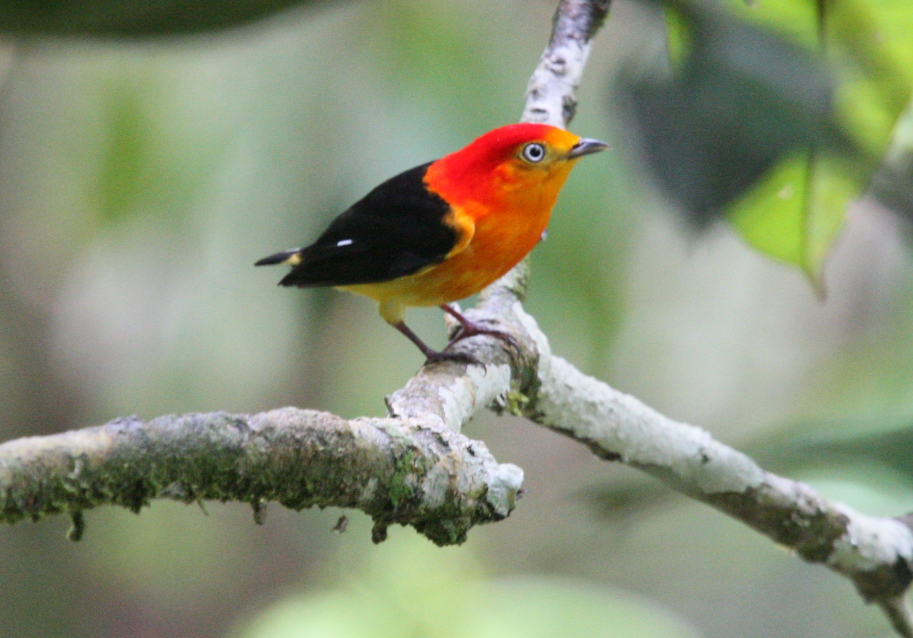 Band-tailed Manakin on the branch