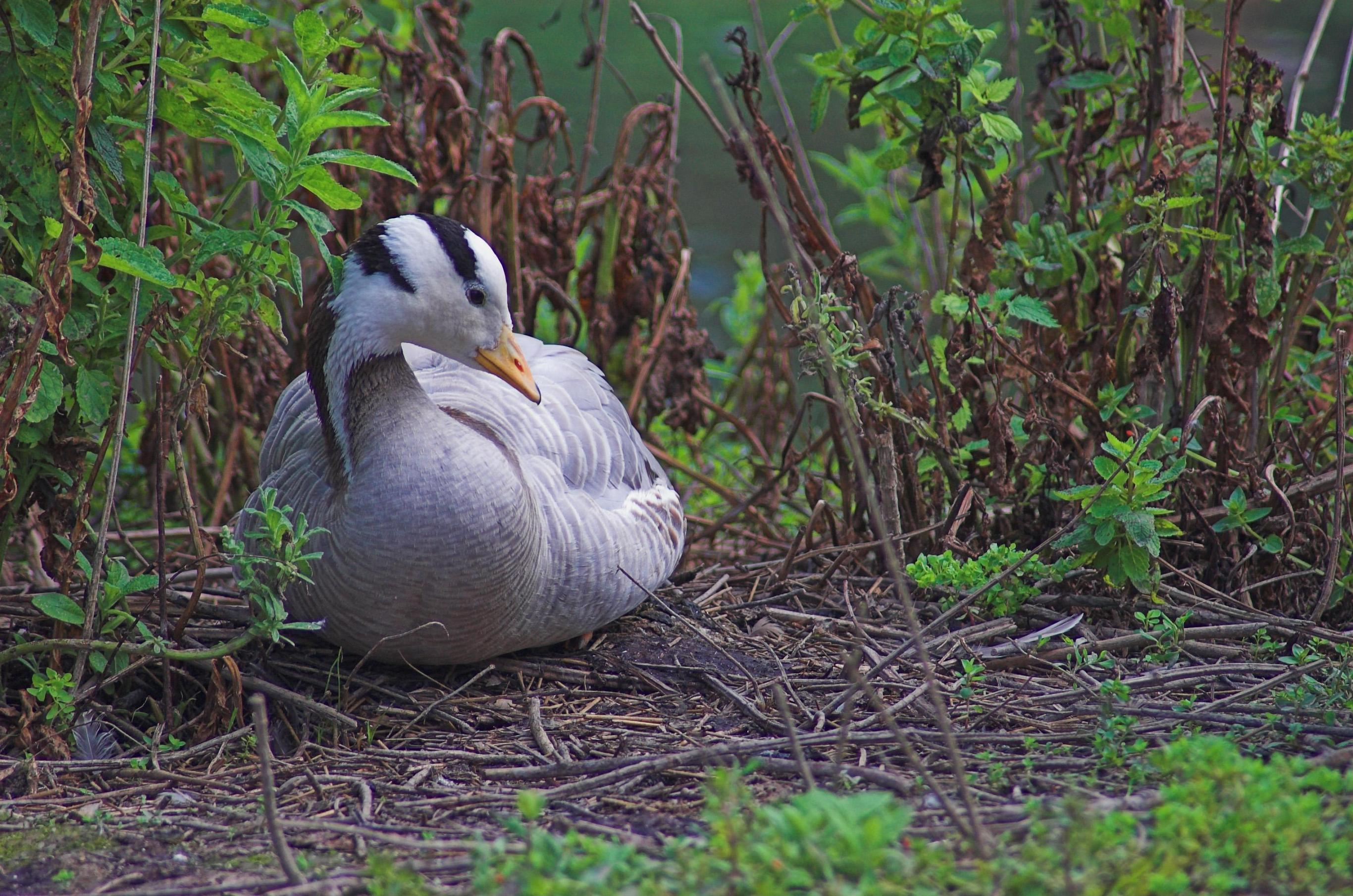 Bar-headed Goose in bushes