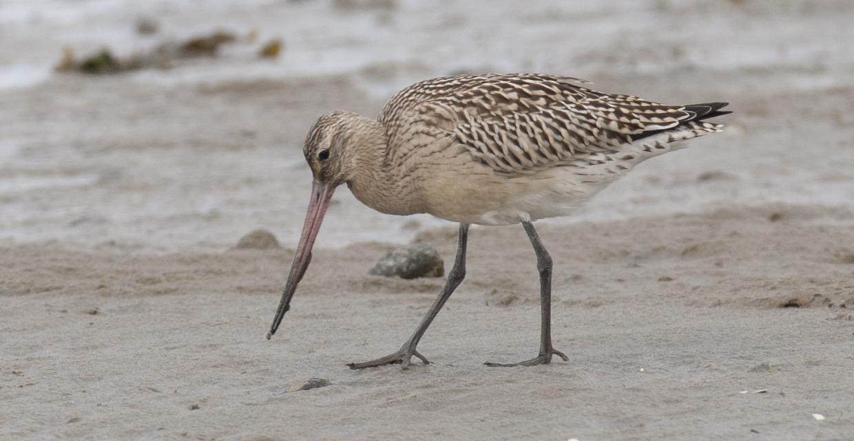 Bar-tailed Godwit on the sand