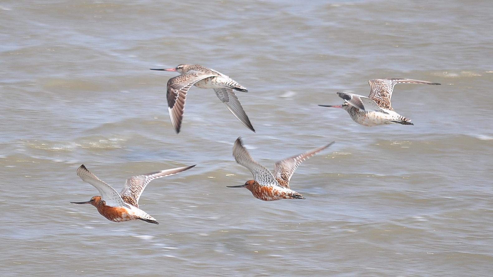 Bar-tailed Godwits under sea