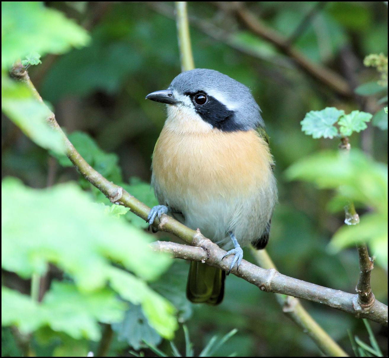 Bar-throated Apalis side view