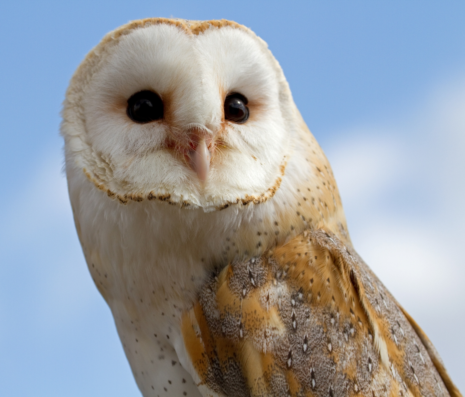 Barn Owl Face Photo And Wallpaper All Barn Owl Face Pictures
