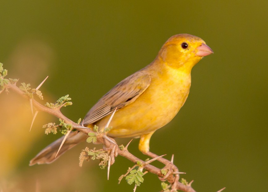 Beautiful Arabian Golden Sparrow