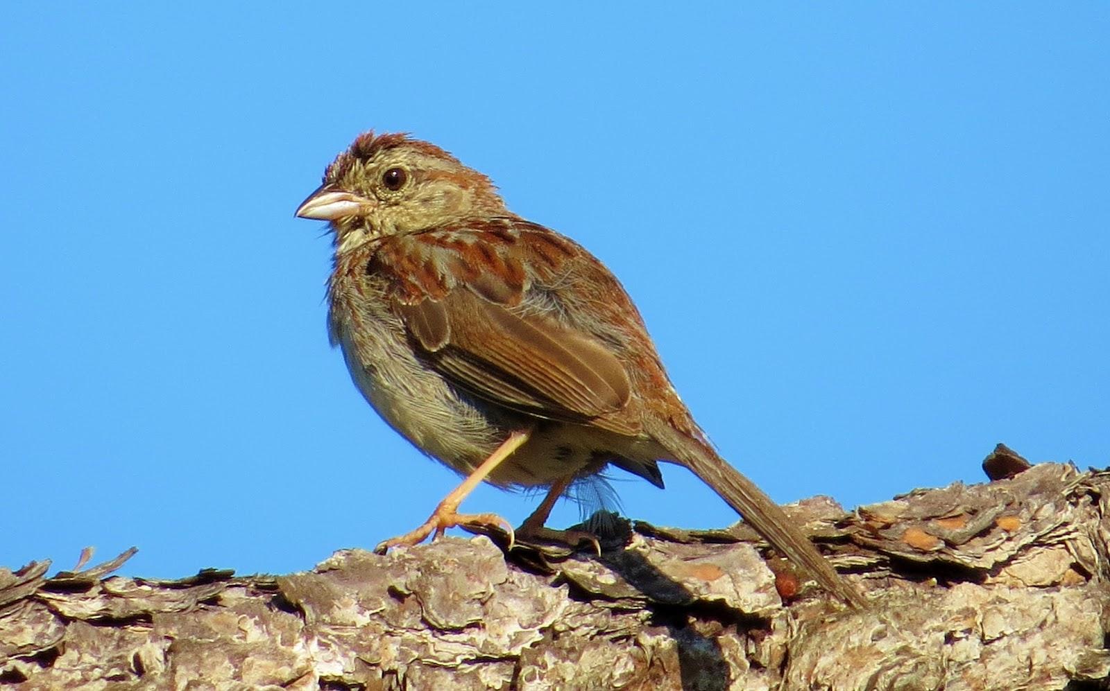 Beautiful Bachman's Sparrow