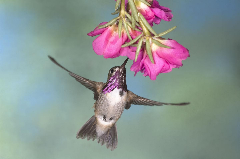 Bee Hummingbird and flower