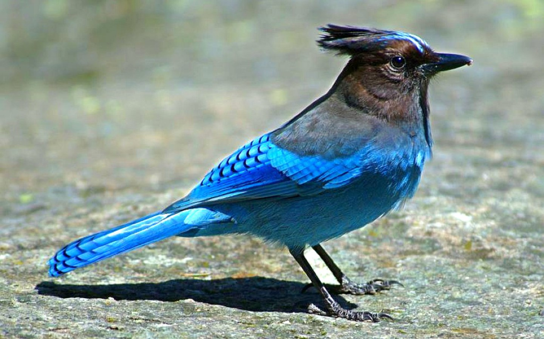 Bluebird-rock Wallpaper