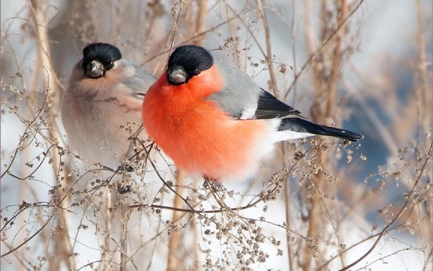 Bullfinches Wallpaper