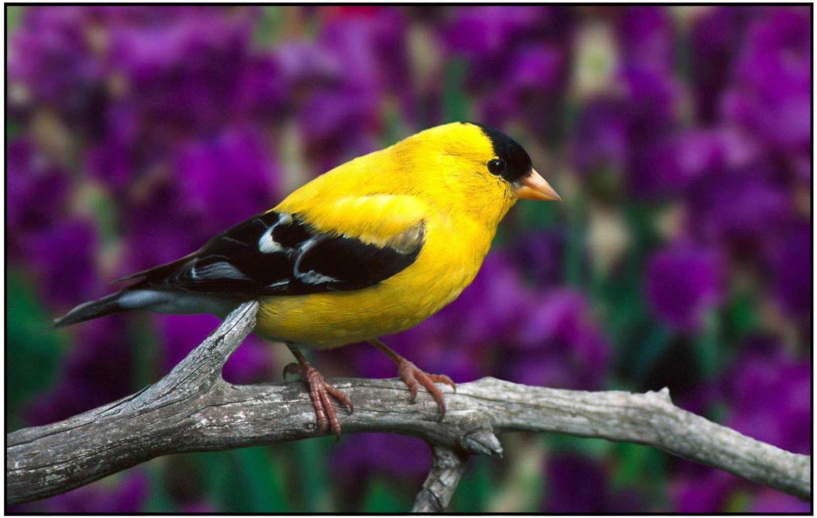 Charming american goldfinch photo and wallpaper all for Gold bird wallpaper