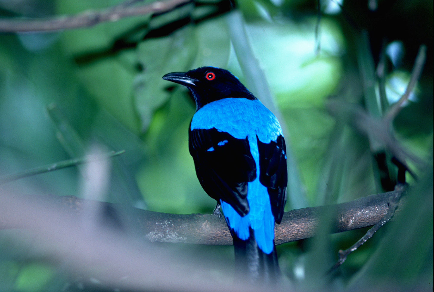 Charming Asian Fairy Bluebird