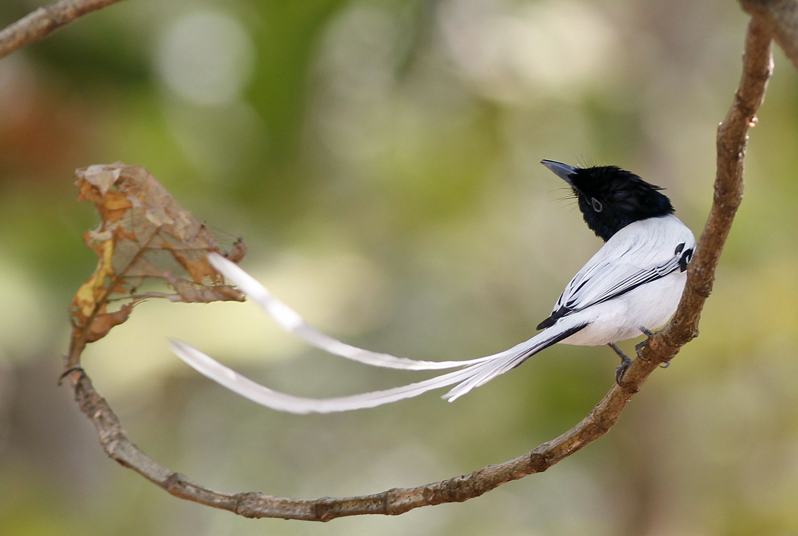 Charming Asian Paradise-flycatcher