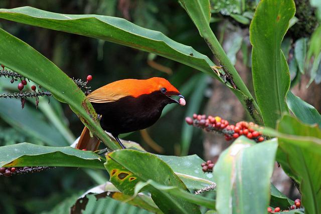 Crested satinbird eats