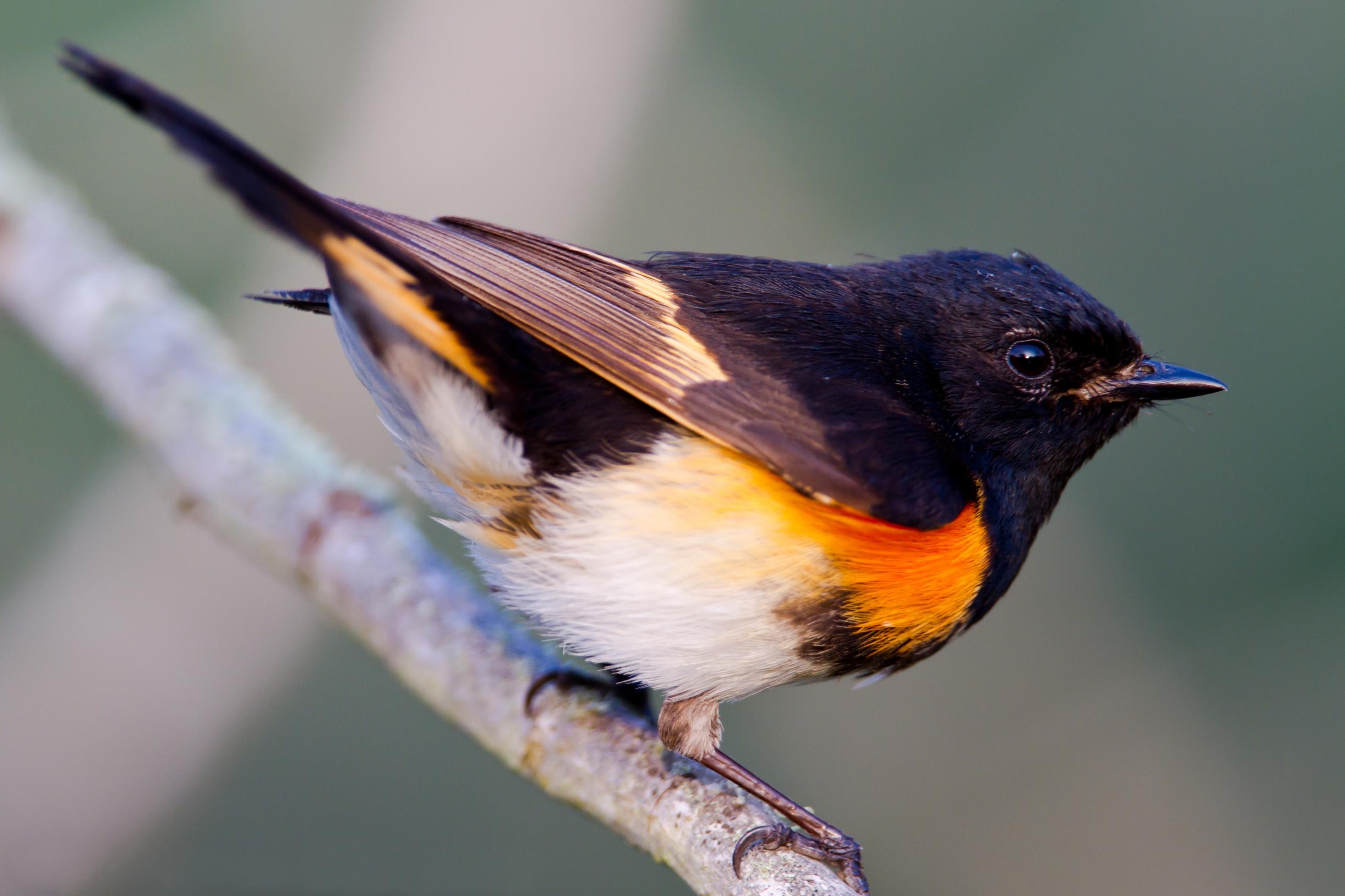 Cute American Redstart