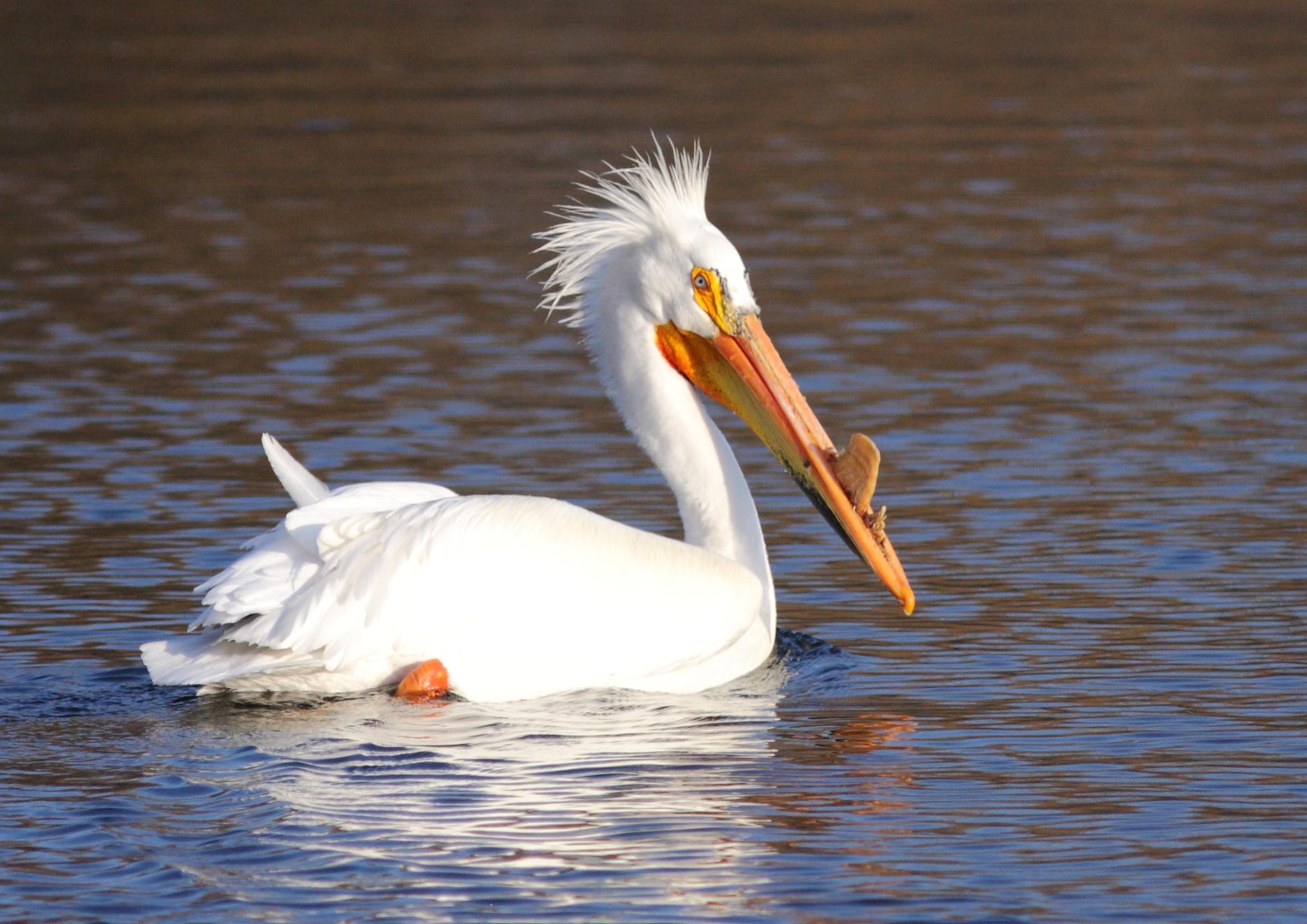 Cute American White Pelican