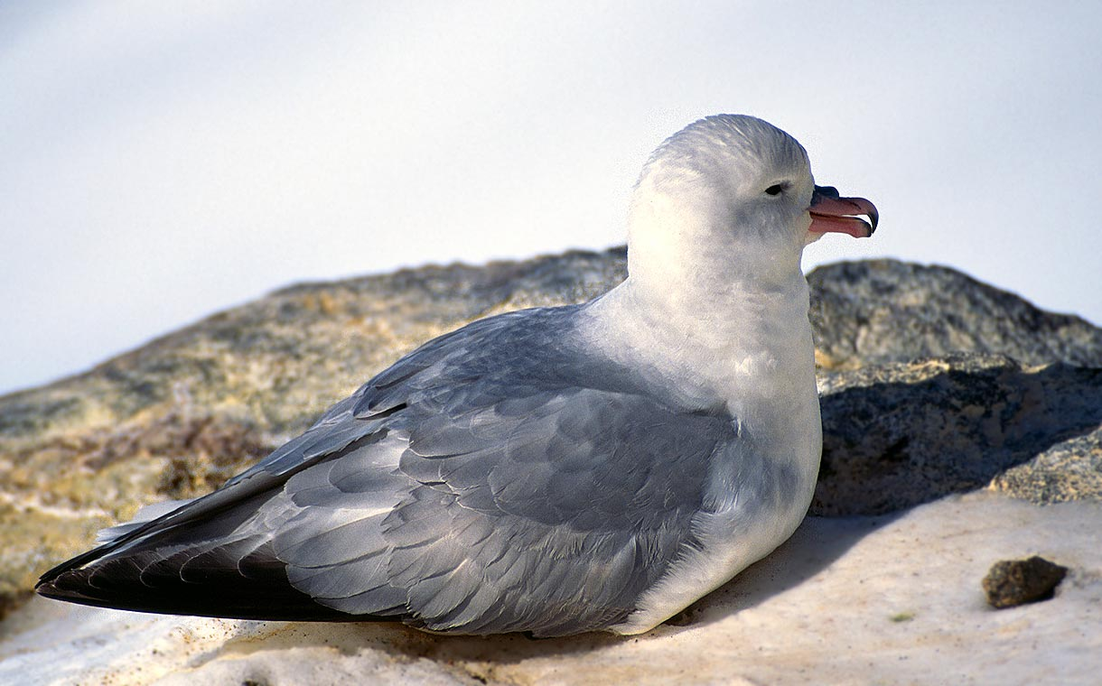 Cute Antarctic Petrel