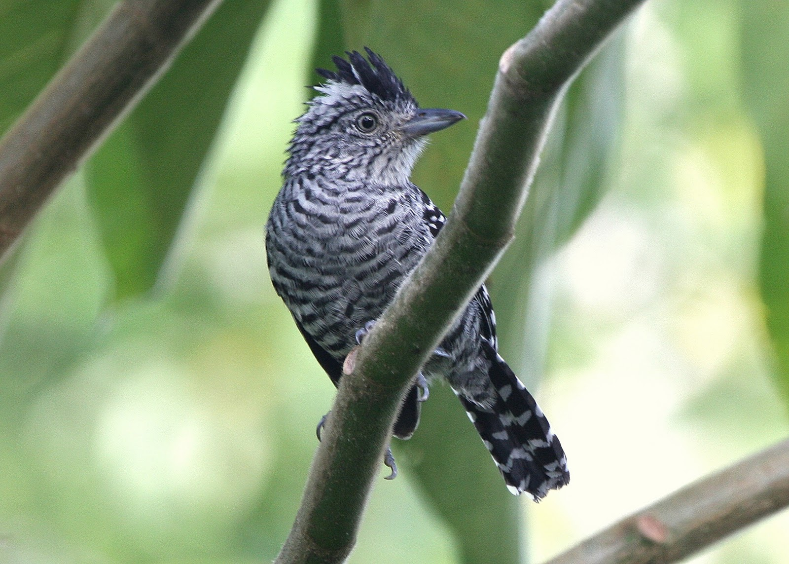 Cute Barred Antshrike