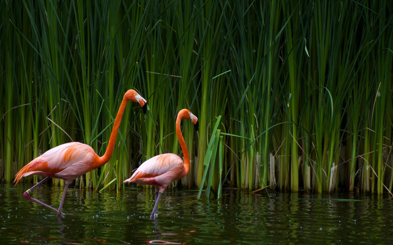 Flamingos-reed Wallpaper