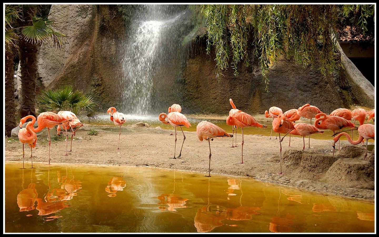 Flamingos wallpaper x