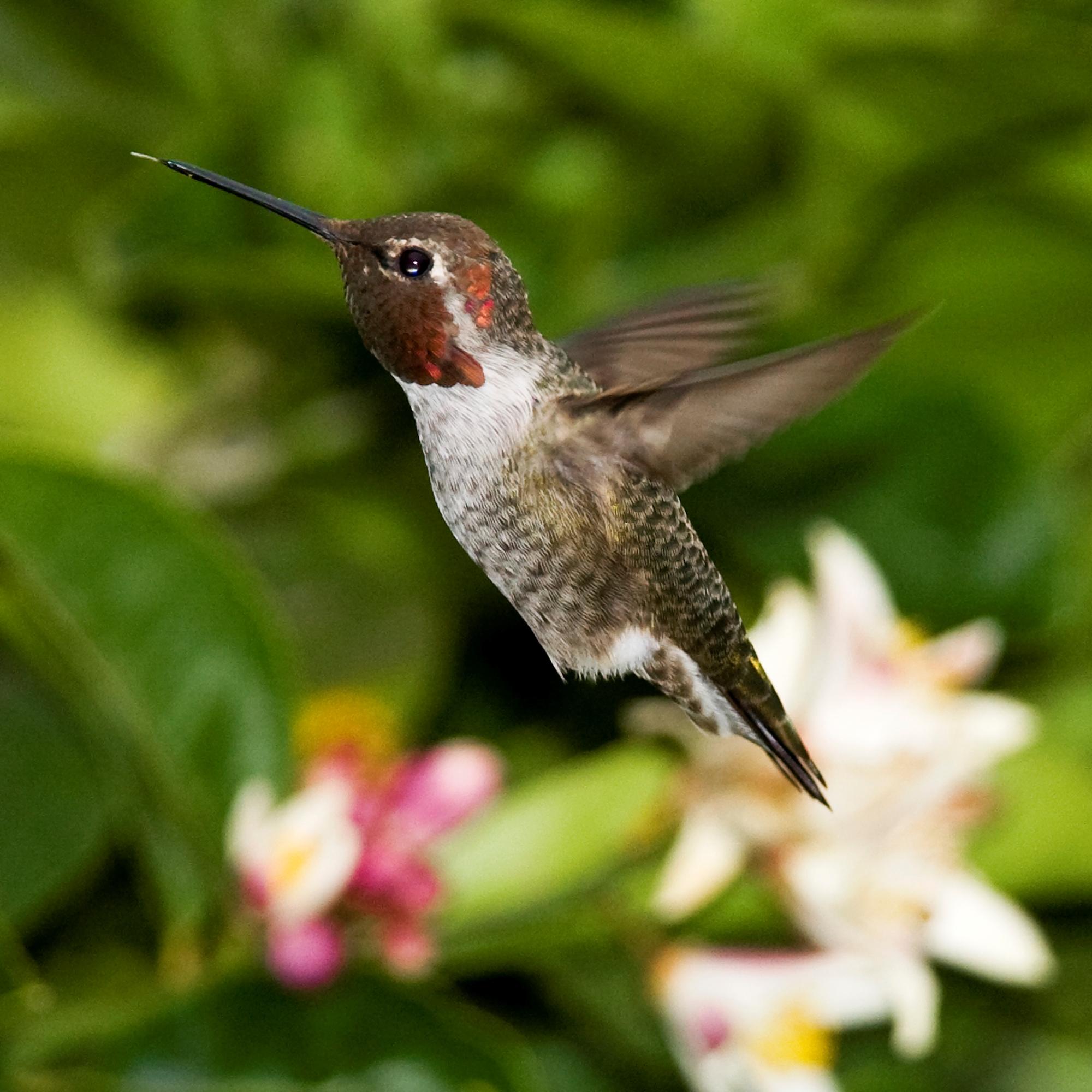 Flower Anna's Hummingbird