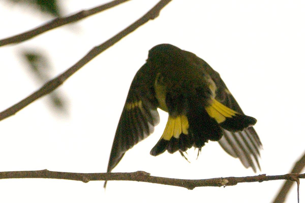 Flying American Redstart