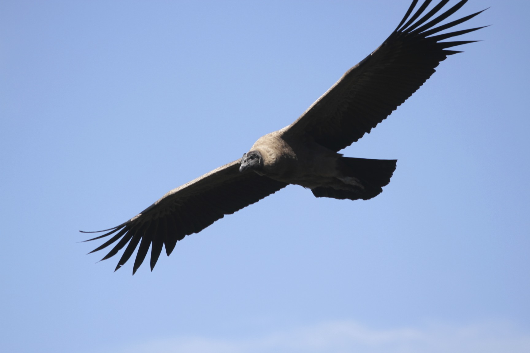 Flying Andean Condor