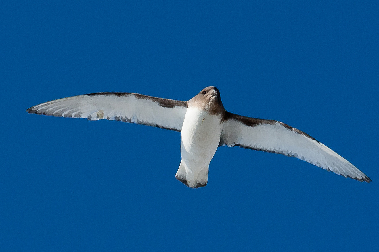 Flying Antarctic Petrel