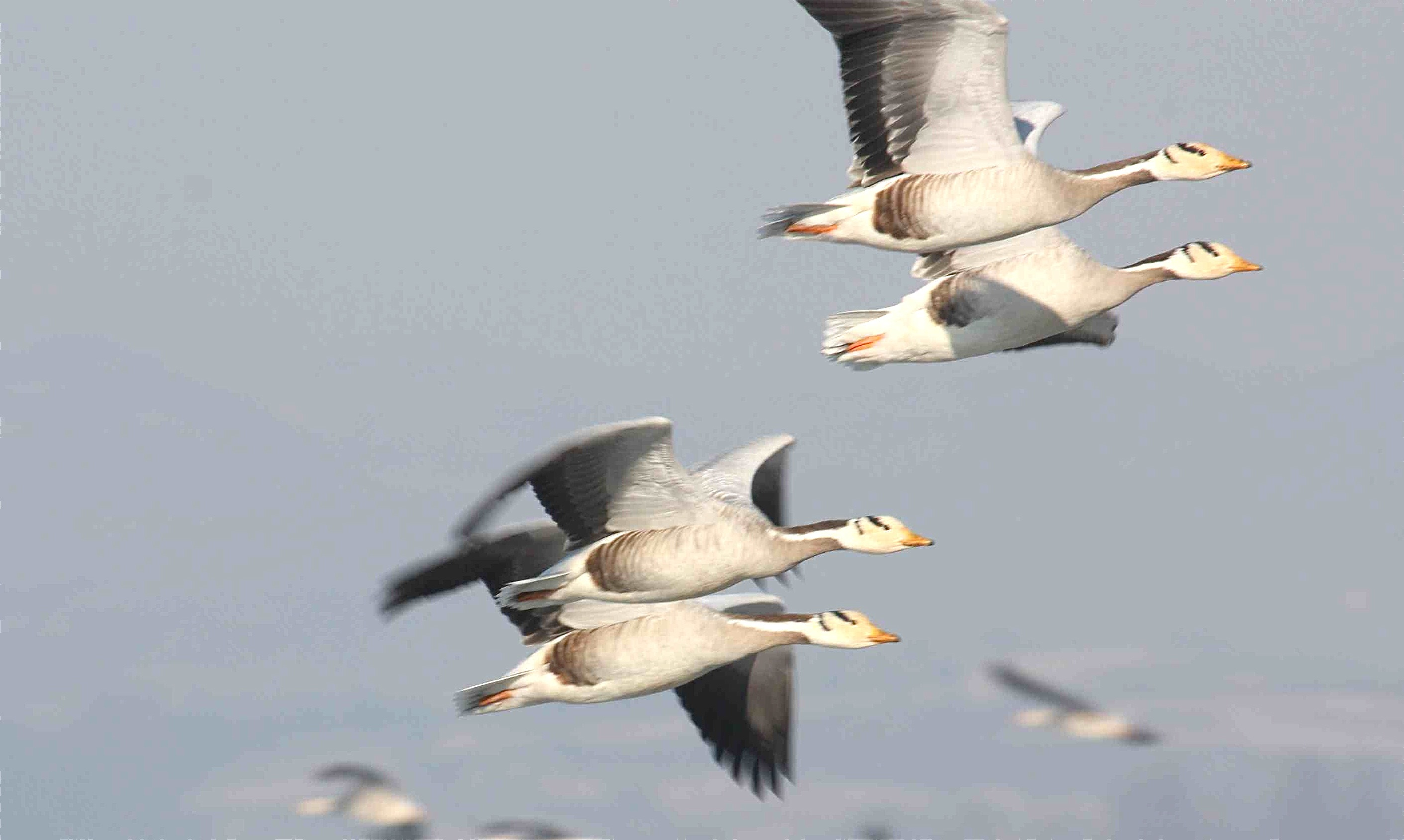 Flying Bar-headed Goose