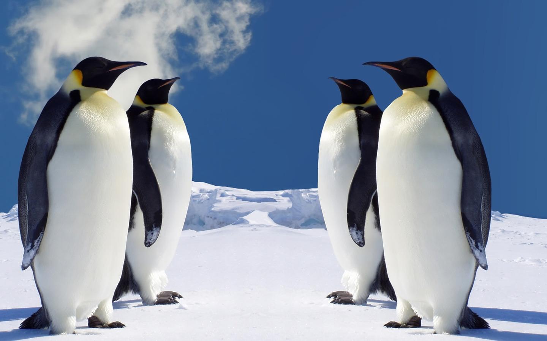 Four Penguins Wallpaper