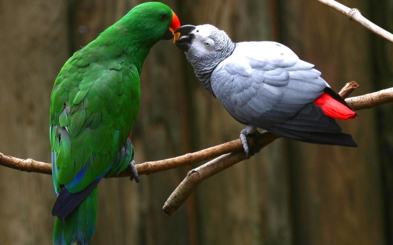 Graygreen Parrots Wallpaper
