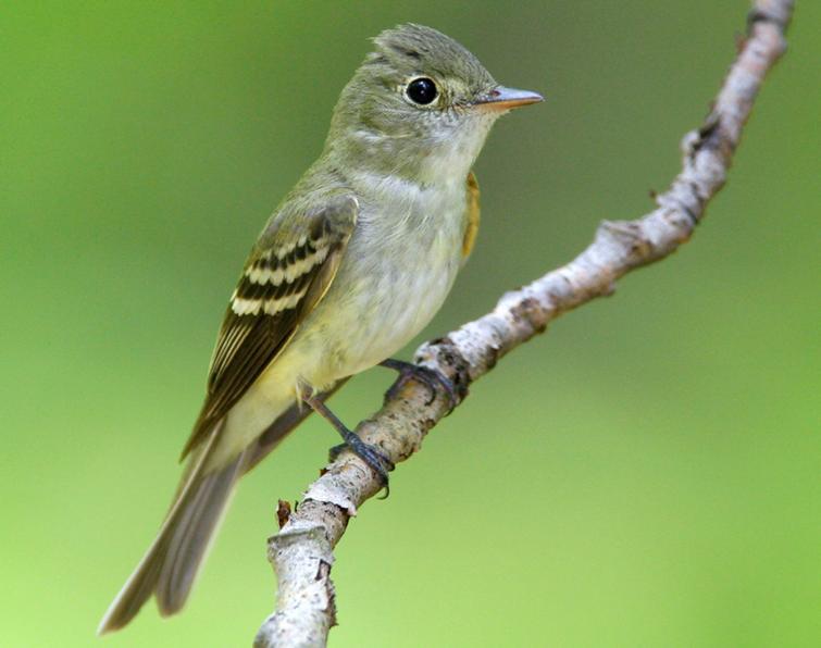 Great Acadian Flycatcher