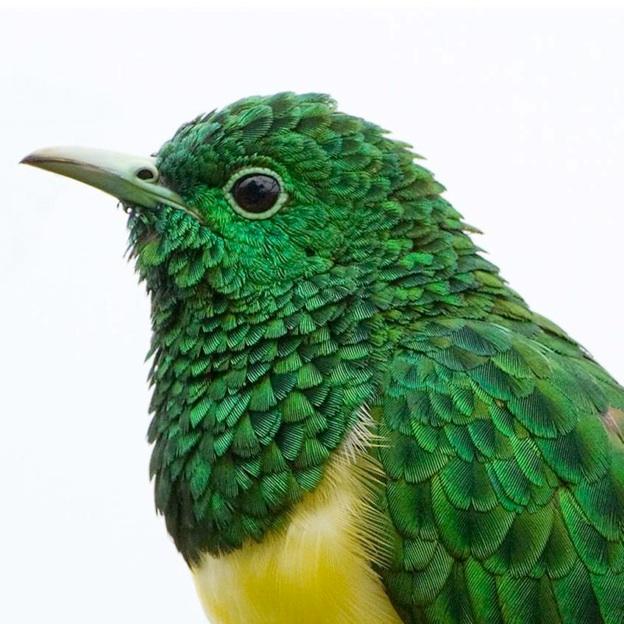 Head African Emerald Cuckoo