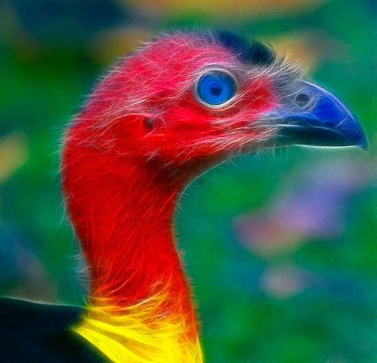 Head Australian Brush-turkey
