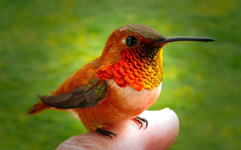 Hummingbird Finger Wallpaper