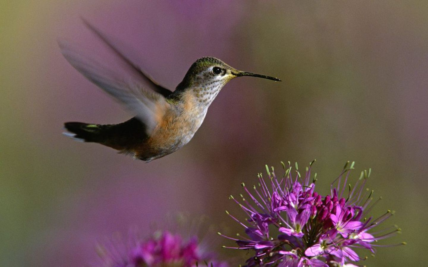 Hummingbird Flowers Wallpaper