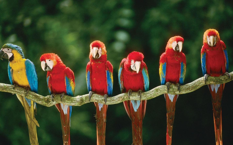 Macaws Tree Wallpaper