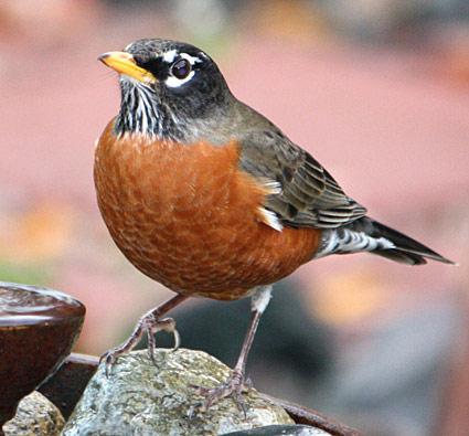 Majestic American Robin