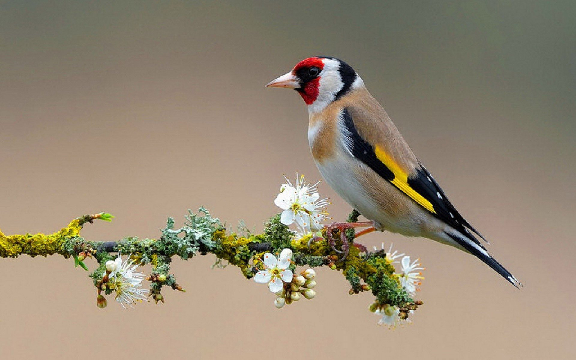 Nice American Goldfinch