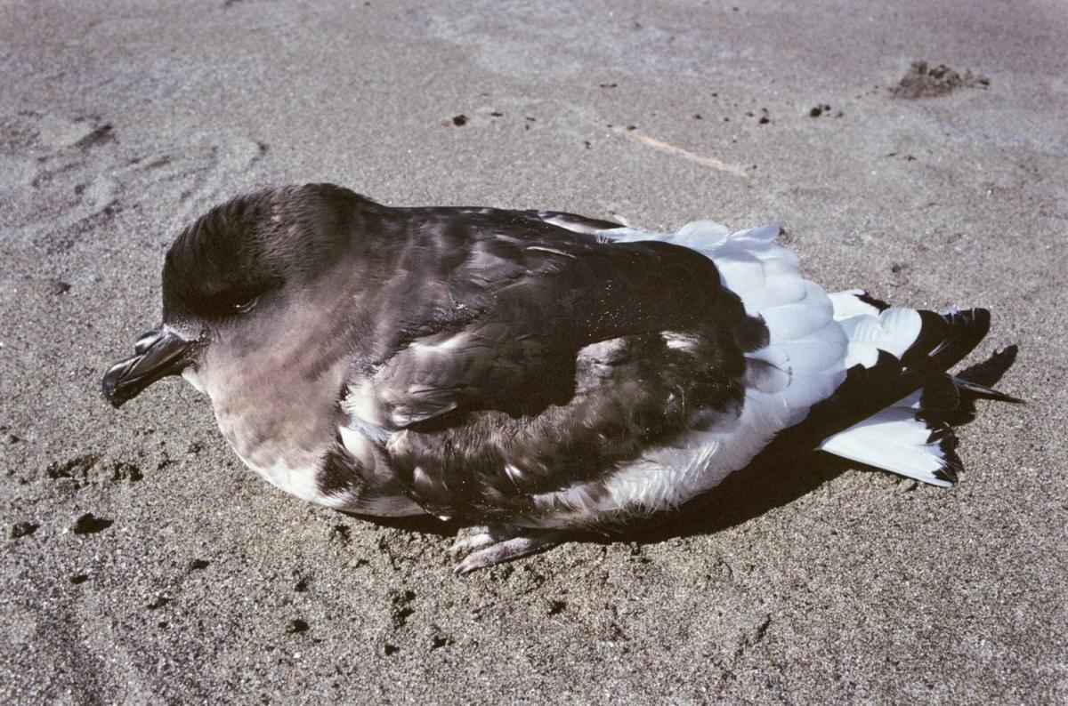 Nice Antarctic Petrel