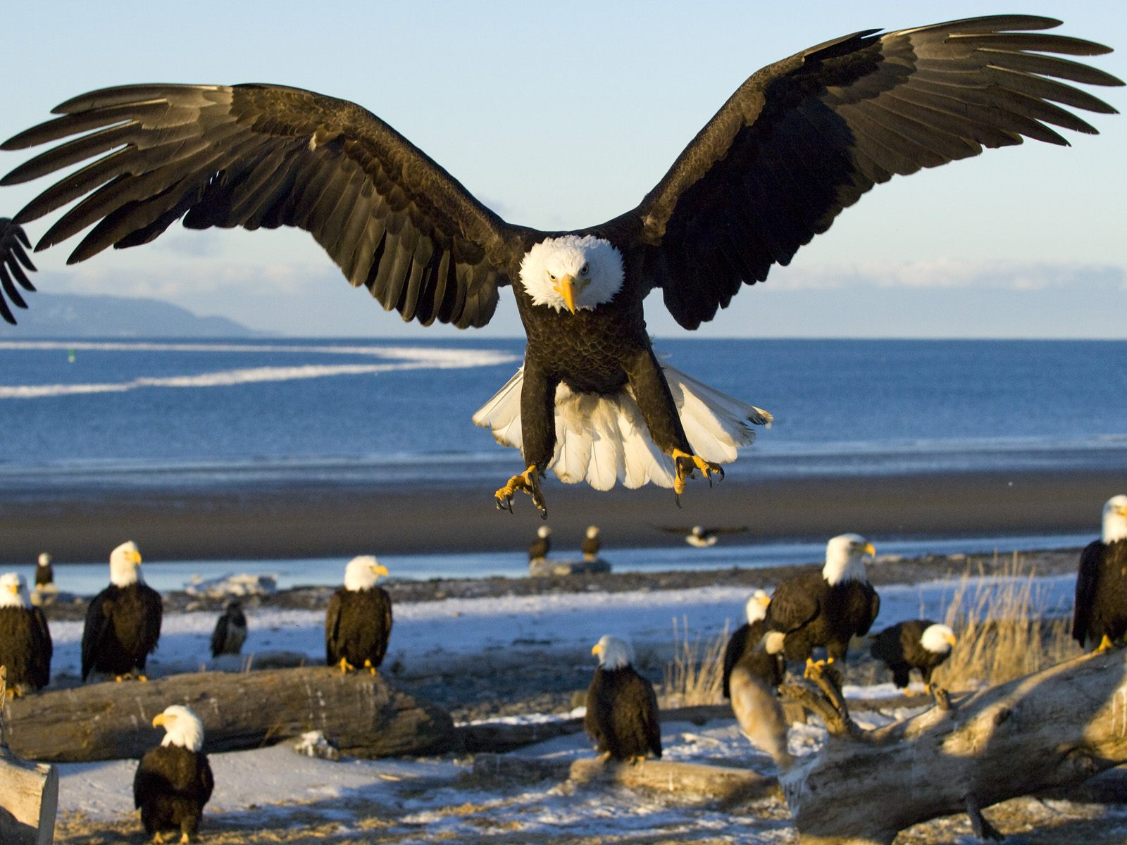 Nice Bald Eagle