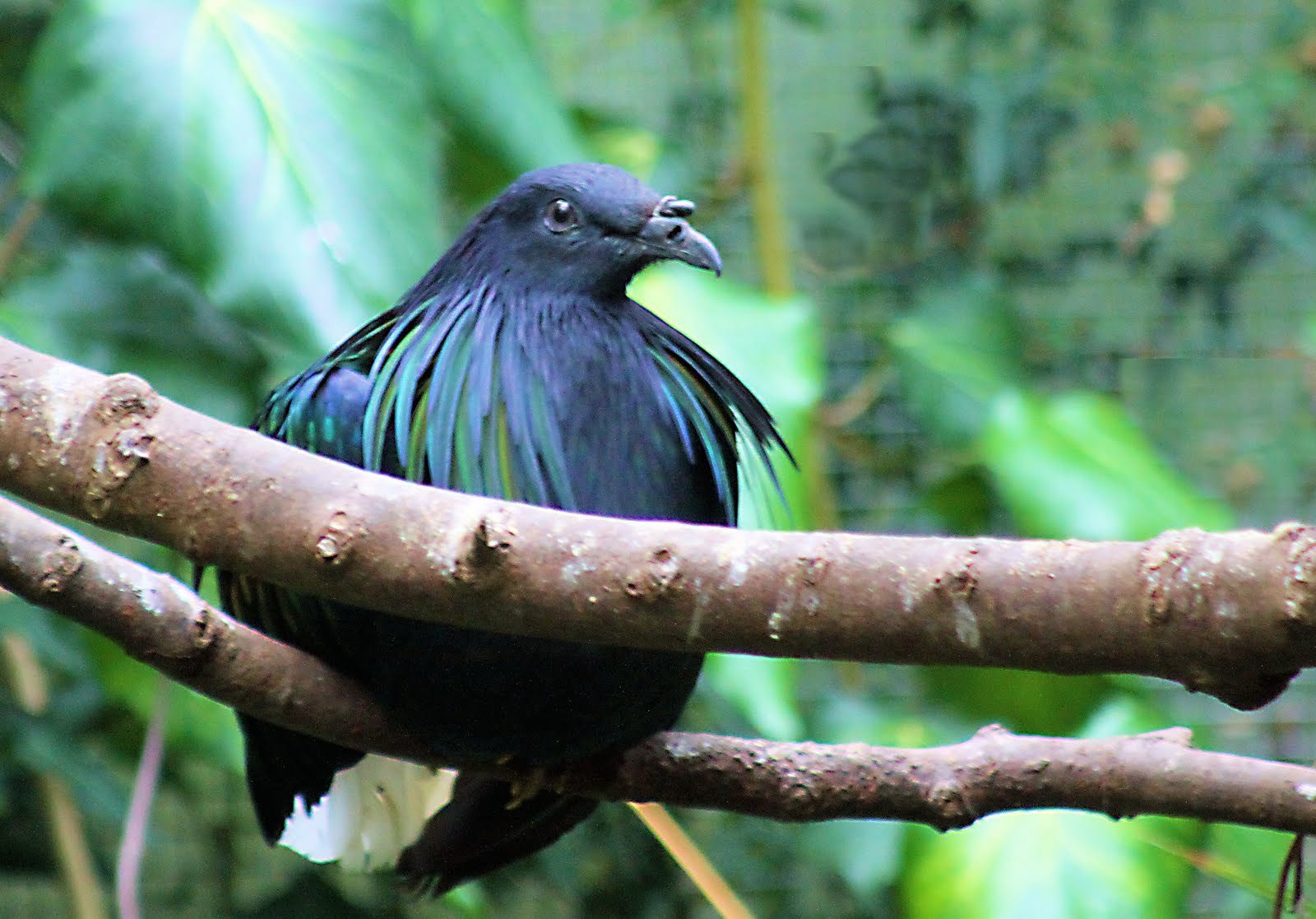 Sitting Asian Fairy Bluebird