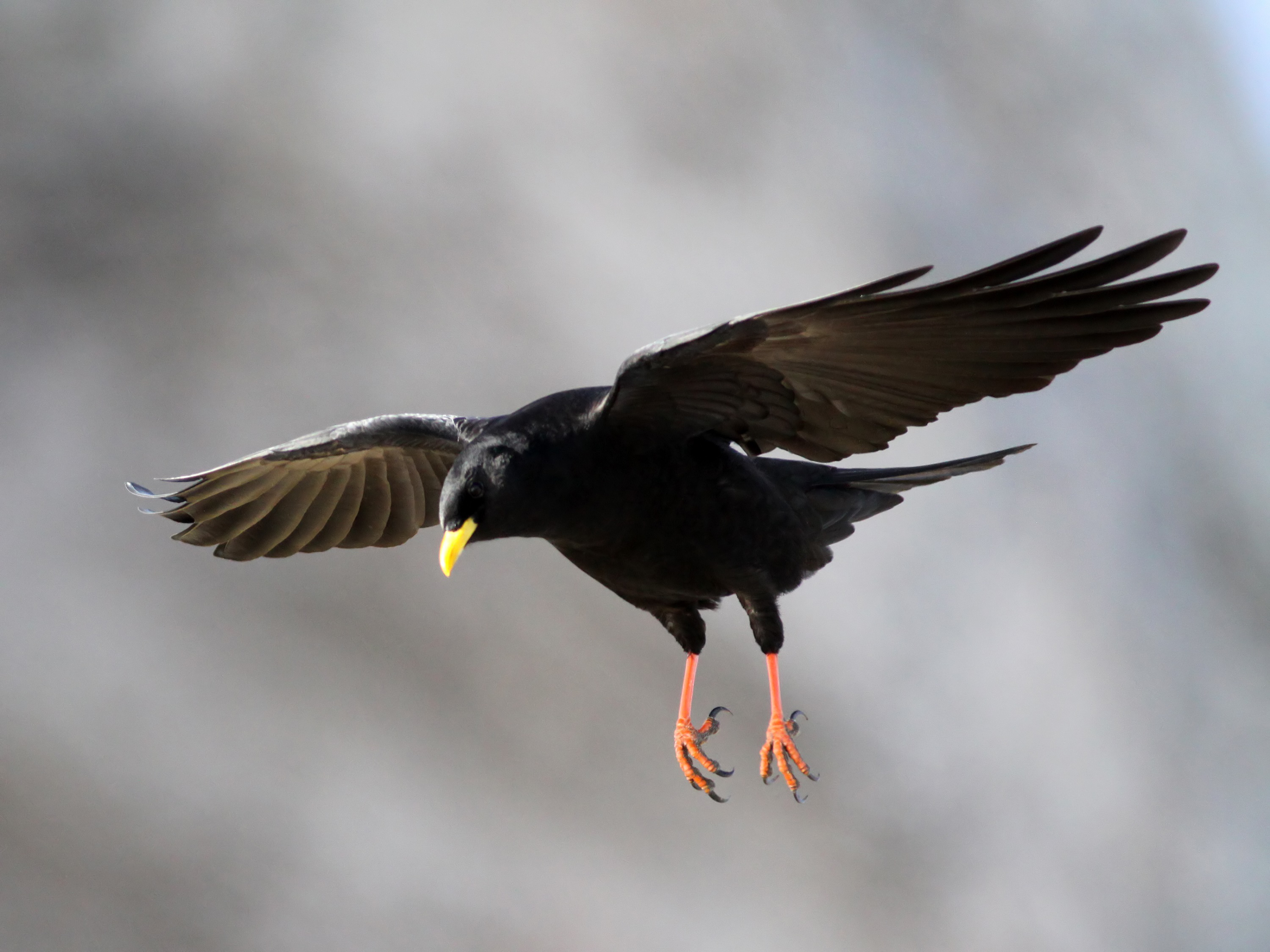 Sky Alpine Chough