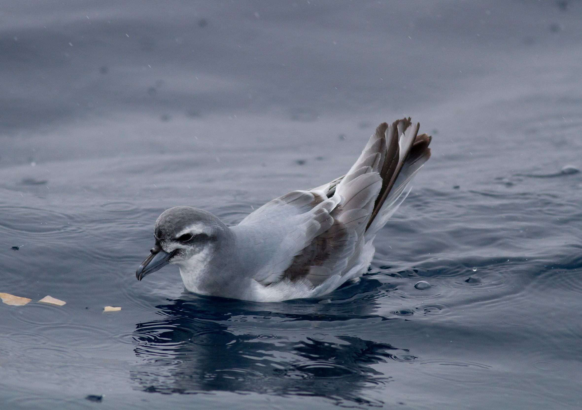 Swimming Antarctic Prion