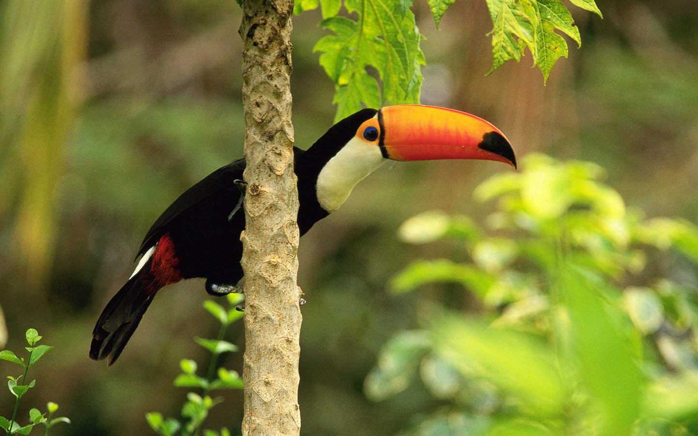 Toucan Tropicalforest Wallpaper