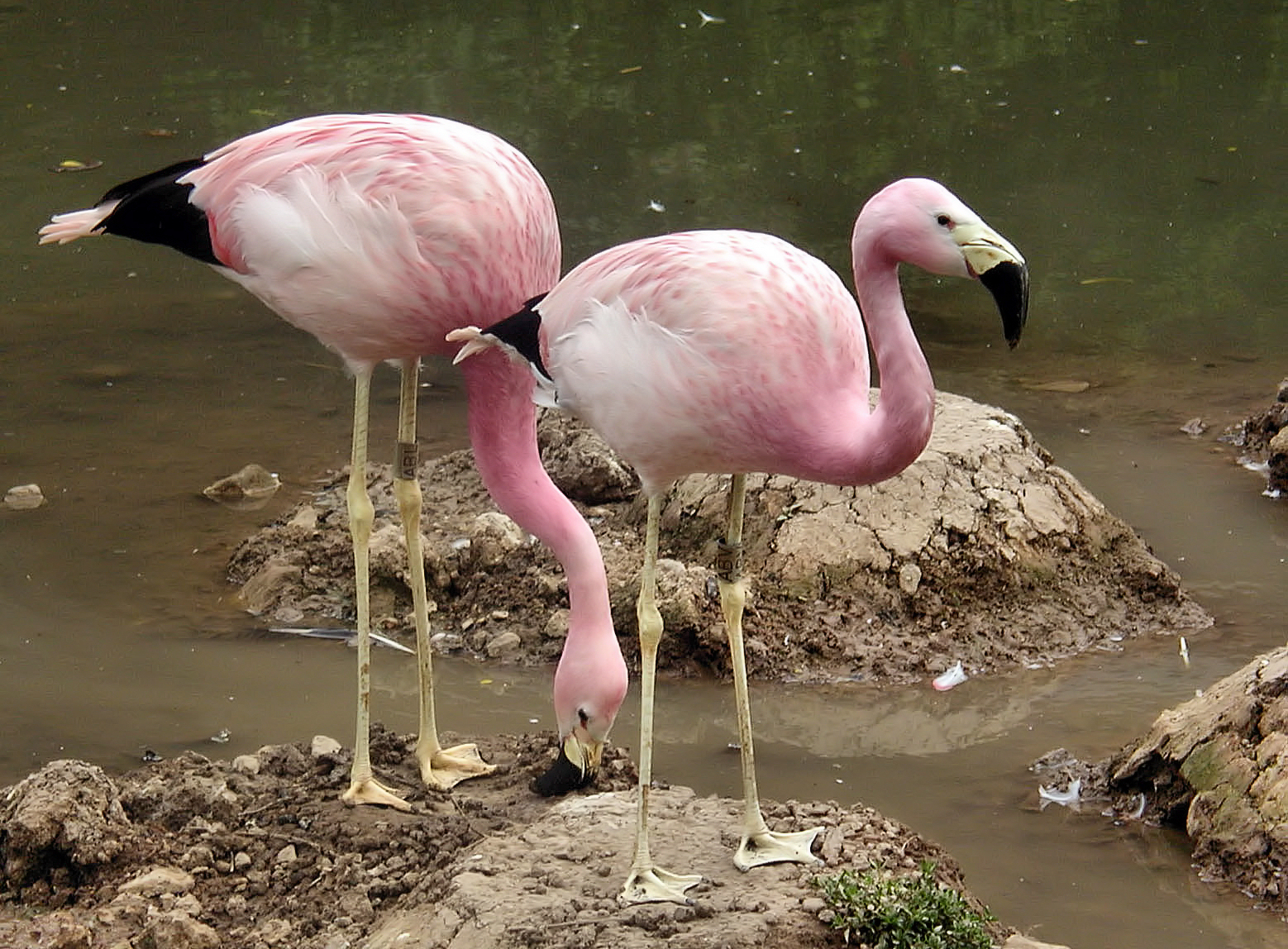 Two Andean Flamingo