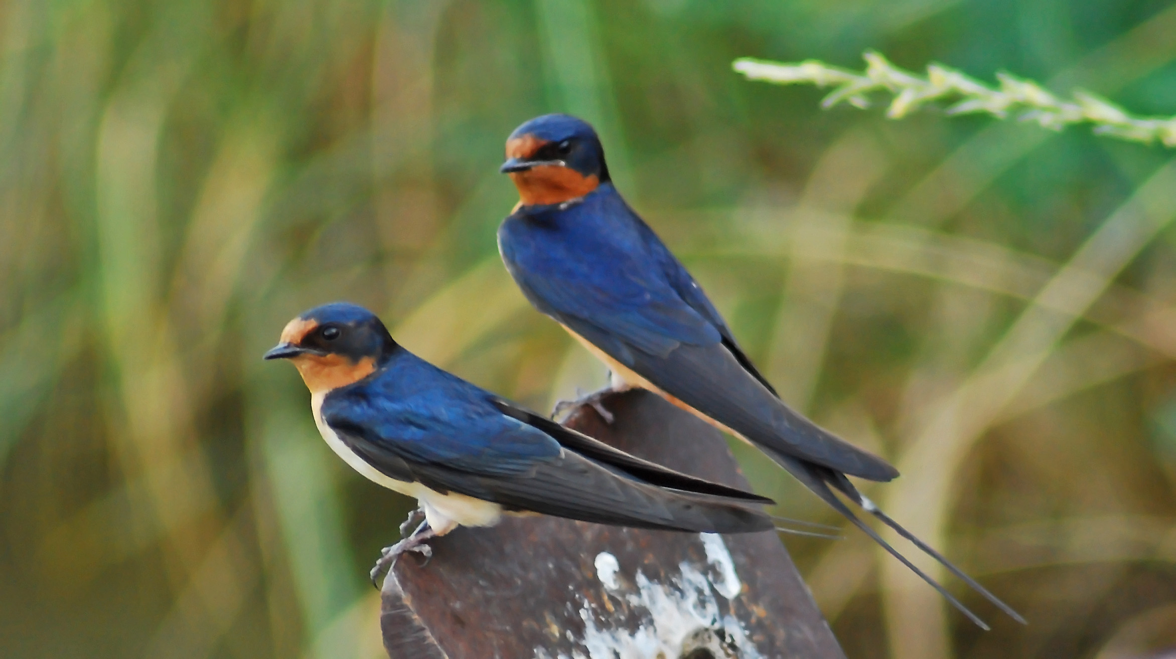 Two Barn Swallows