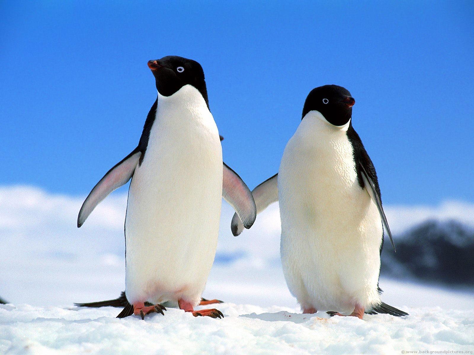 Two frands Adelie Penguins