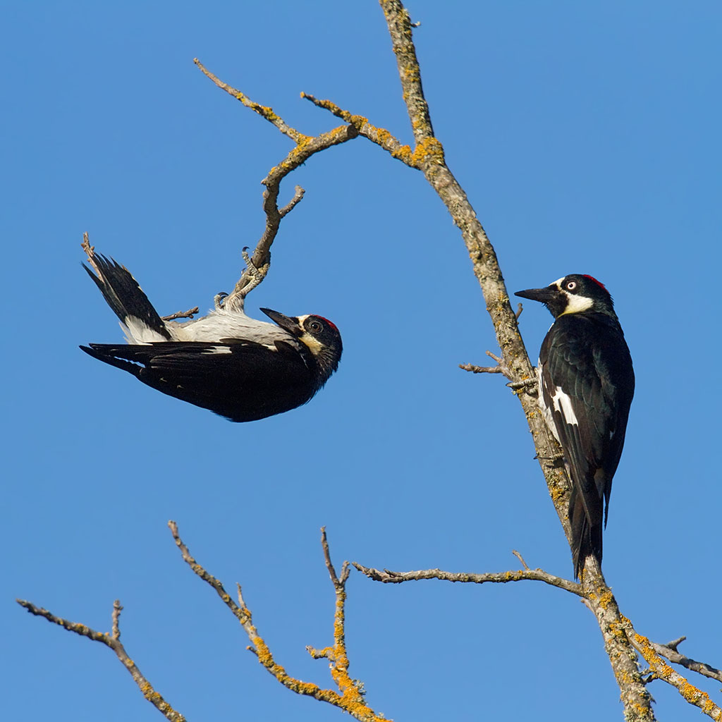 Two play Acorn Woodpeckers