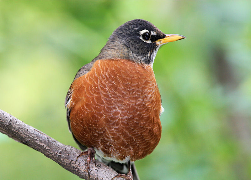 Watching American Robin